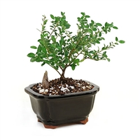 Bonsai - Miniature  Yaupon Holly Bonsai Tree