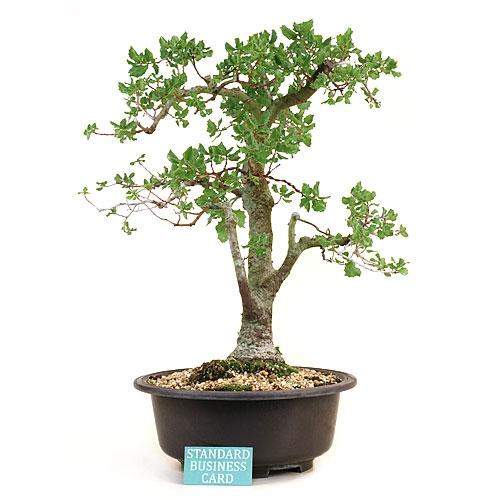 Upright Oak Bonsai Tree
