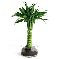 Lucky Bamboo Arrangement - Modern Twist Lucky Bamboo