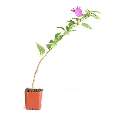 Purple Bougainvillea Pre Bonsai Tree From Easternleaf Com