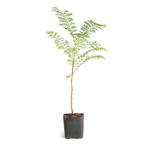 jacaranda pre bonsai tree from. Black Bedroom Furniture Sets. Home Design Ideas