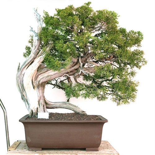 Informal Upright California Juniper Bonsai Tree