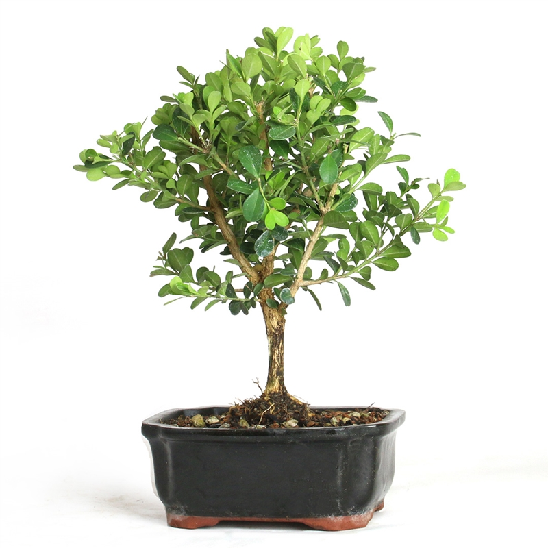 Bonsai Miniature Boxwood Tree From Easternleaf Com Boxwood Bonsai Trees Have Dense Growing Habits And A Rough Bark This Bonsai Tree Needs Minimal Sunlight Perfect For An Indoor Environment The Boxwood Bonsai