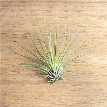 Air Plants Tillandsia Filifolia