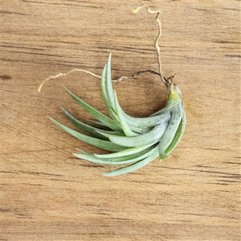 Air Plants Tillandsia Neglecta
