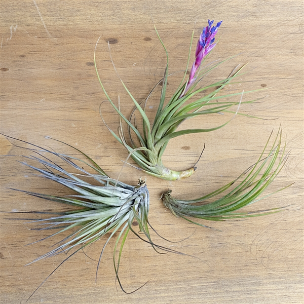 Wispy 3 Air Plant Set