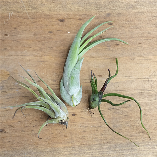 Whimsical 3 Air Plant Set