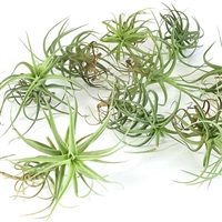 Pack of 10 Air Plants
