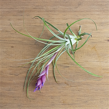 Air Plants Tillandsia Stricta Soft Leaf