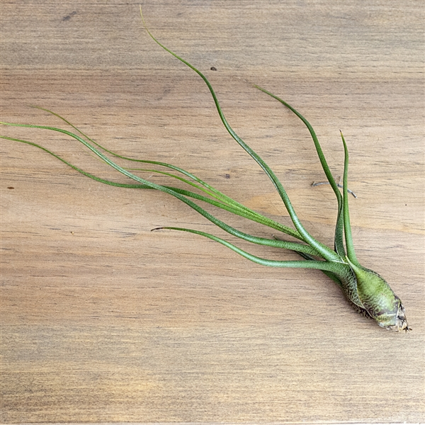 Air Plants Tillandsia Butzii