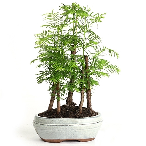 Dawn Redwood Forest Bonsai Tree  C2 B7 Larger Photo Email A Friend