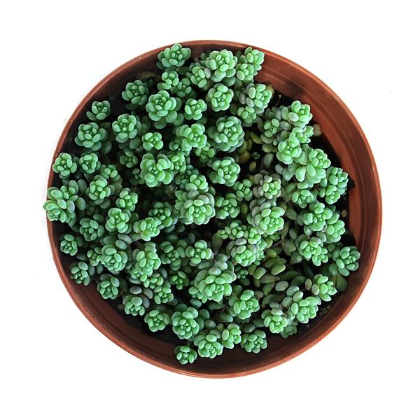 succulent sedum bubble gum