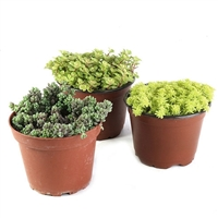 Succulent Ground Cover - 3 Pack