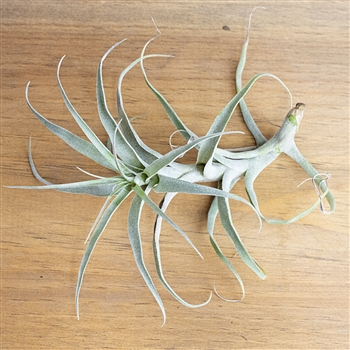 Air Plants Tillandsia Incarnata