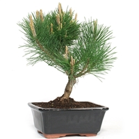 Large Trained Japanese Black Pine Bonsai