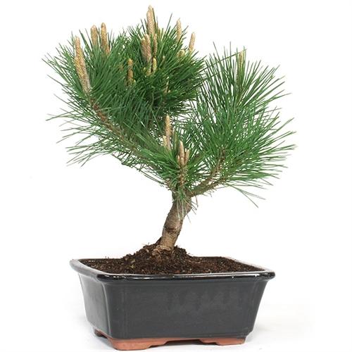 Strange Large Trained Japanese Black Pine Bonsai Wiring Digital Resources Jebrpcompassionincorg