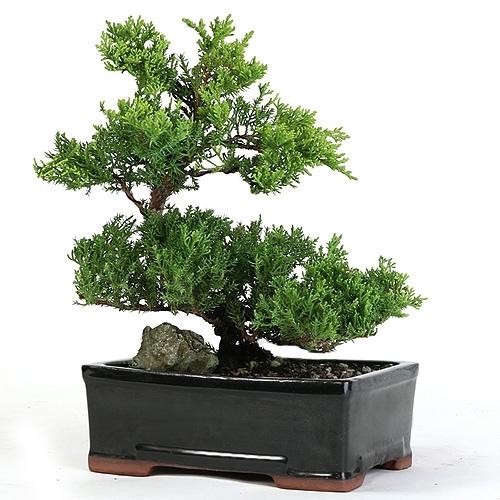 Trained Juniper Bonsai