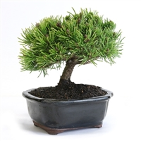 Miniature Mugo Pine Bonsai