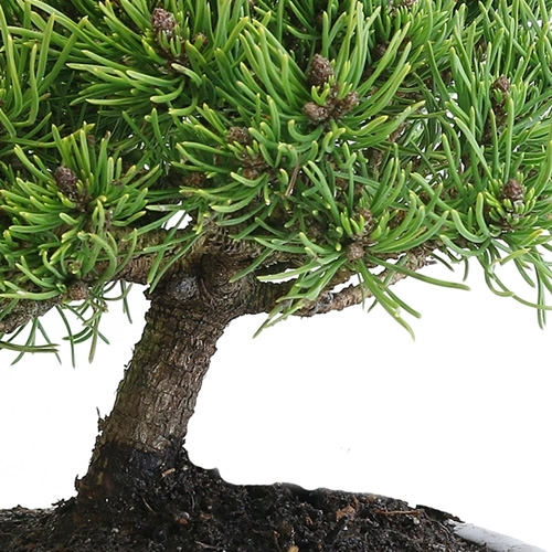 Miniature Mugo Pine Bonsai