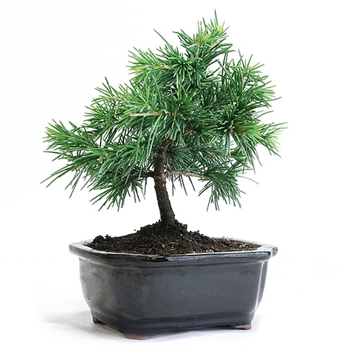 Miniature Cedar Bonsai