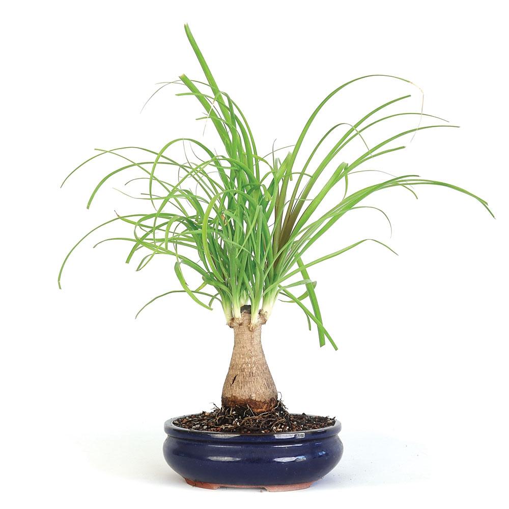 Bonsai - Ponytail Palm Bonsai Tree