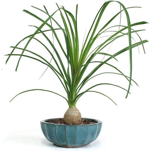 Bonsai - Small Ponytail Palm Bonsai Tree