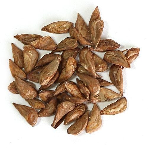 Atlas Cedar Bonsai Seeds From Easternleaf Com