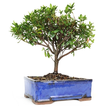 Flowering Azalea Bonsai