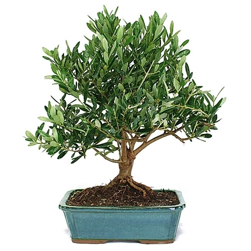Bonsai european olive bonsai from olive for Olive plant care