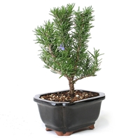 Bonsai - Rosemary Bonsai Tree
