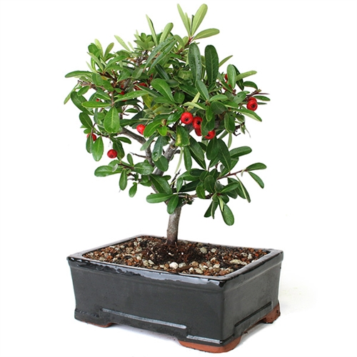 Bonsai Large Pyracantha Tree From Easternleaf Com