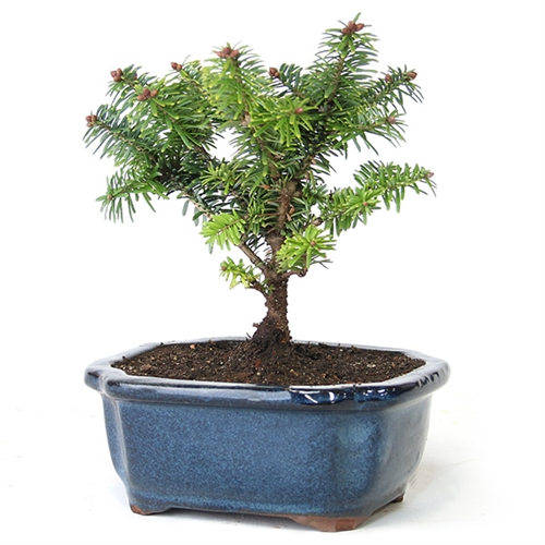 Balsam Fir Bonsai