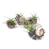 Purple Seashell Air Plant Favor