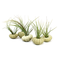 Green Sea Urchin Air Plant Favor