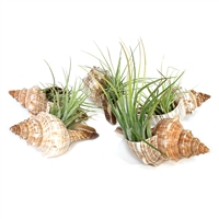 Striped Fox Seashell Air Plant Favor