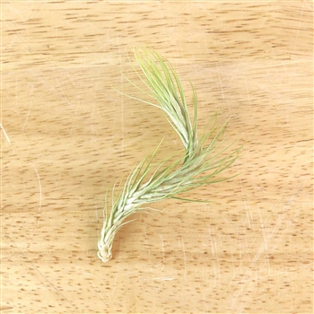 Air Plants Tillandsias