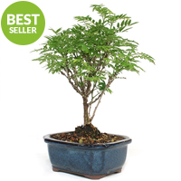 Dwarf Wisteria Bonsai Tree