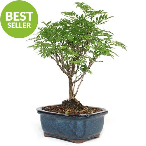 Dwarf Wisteria Bonsai Tree