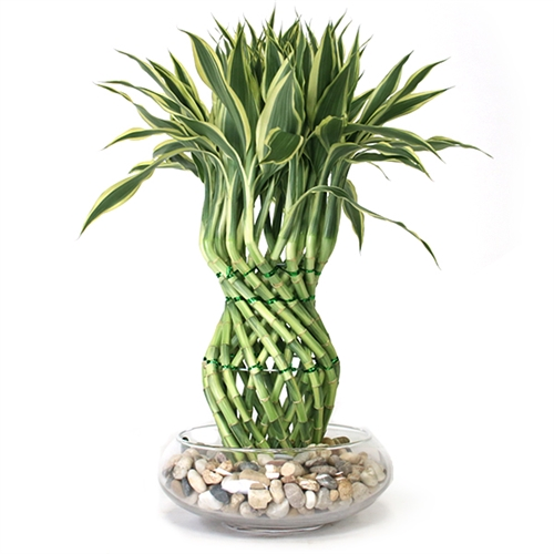 Lucky Bamboo Arrangement - Pineapple Braided Lucky Bamboo