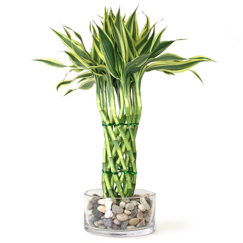 Easternleaf Com Modern Braided Tower Lucky Bamboo Only