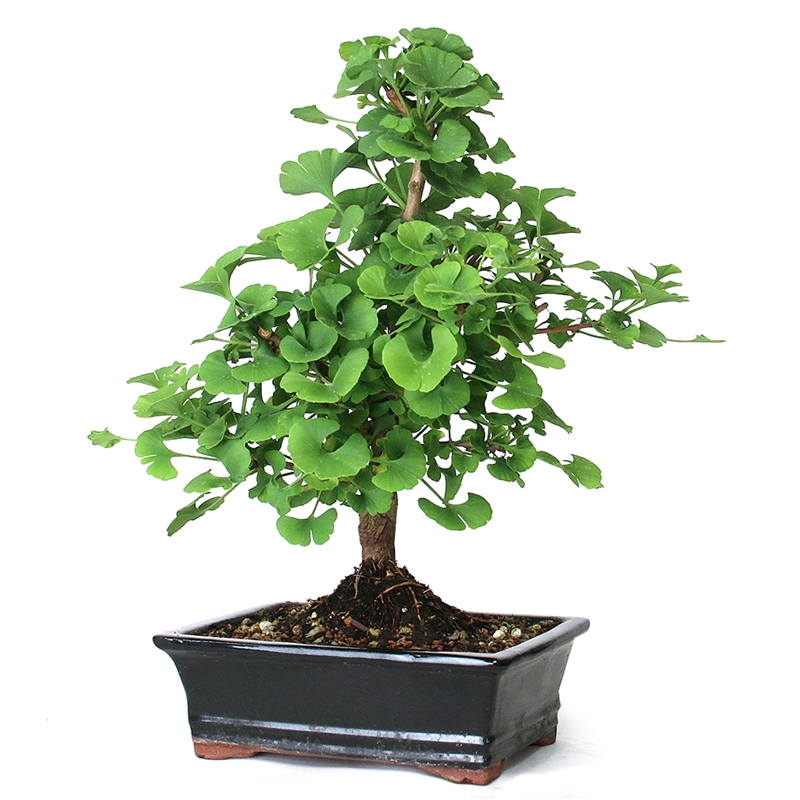 Bonsai Ginkgo Bonsai Tree From Easternleaf Com Recognizable For Its Fan Style Fossil Leaves Ginkgo S Are Generally Grown For Their Vivid Yellow Autumn Color And Their Columnar Shape The Ginkgo Bonsai Tree Was