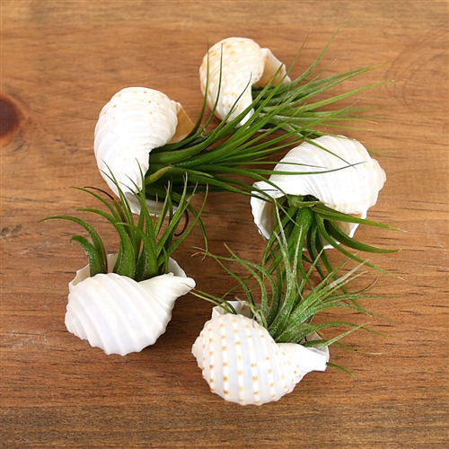 White Sea Shell Air Plant Favor
