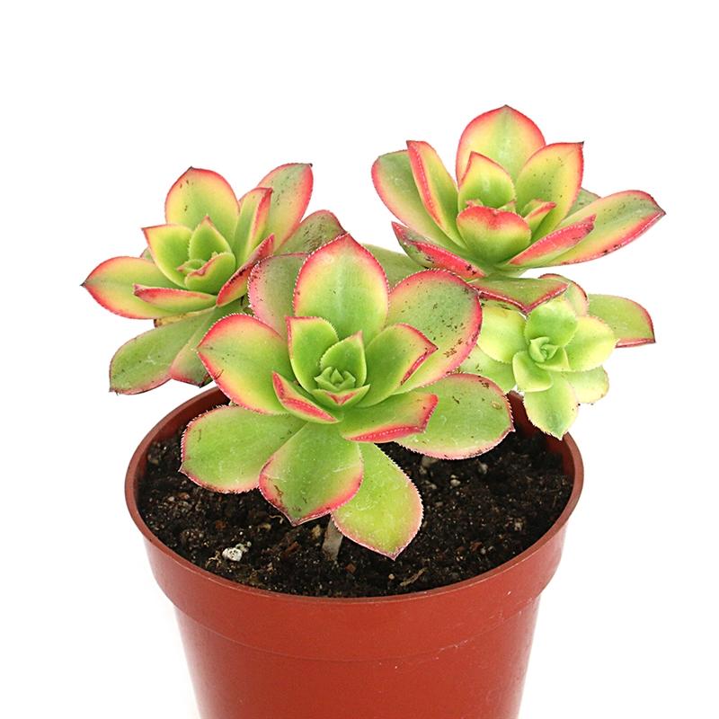succulent aeonium kiwi