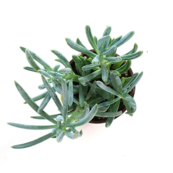 Blue Chalk Sticks - Senecio serpens