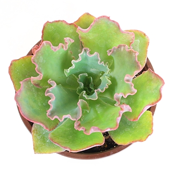 Echeveria 'Curly Locks'