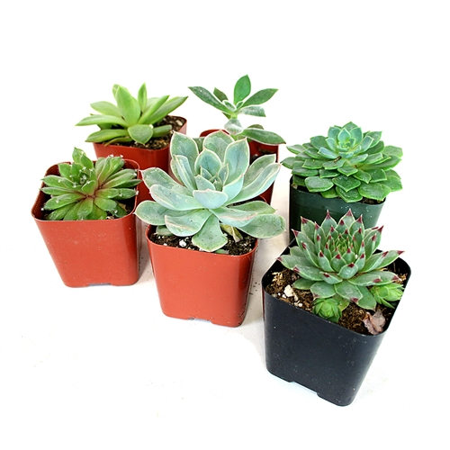 "Succulent Assortment - Six 2"" Rosettes"