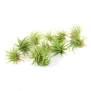 Pack of 10 Ionantha