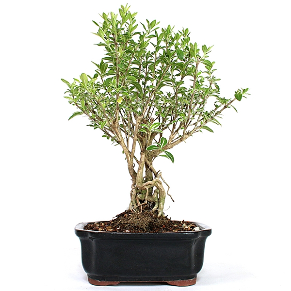 Serissa Japonica Variegated Thousand Stars White Bonsai Tree
