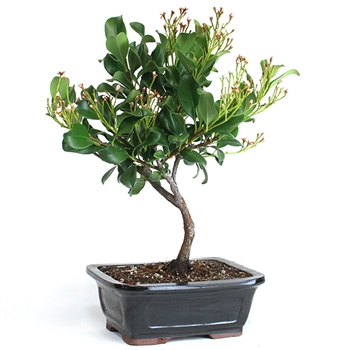 Bonsai - Indian Hawthorn Bonsai Tree
