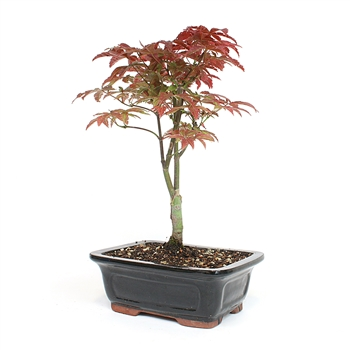 Japanese Red Maple Bonsai Tree